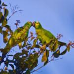 Amazona aestiva (Papagaio-verdadeiro). Foto registrada no Centro de Experimentos Florestais, nas etapas de monitoramento de avifauna