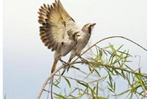 Gubernetes yetapa (Tesoura-do-brejo). Foto registrada no Centro de Experimentos Florestais, nas etapas de monitoramento de avifauna