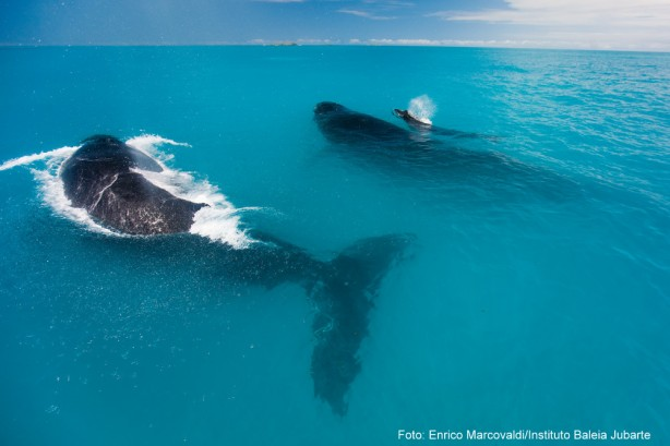 baleia jubarte por Enrico Marcovaldi
