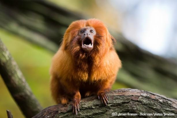 Saiba Mais Sobre O Mico Leão Dourado Sos Mata Atlântica