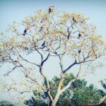 Tucanos-toco em Guaiçara (SP)