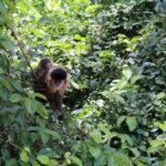 Macaco-prego em Ibitinga (SP)